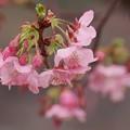 写真: 河津桜は今が旬 -a