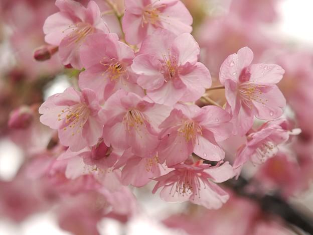 Photos: 河津桜は今が旬 -c