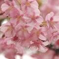 写真: 河津桜は今が旬 -c