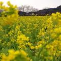 Photos: みなみの菜の花も♪