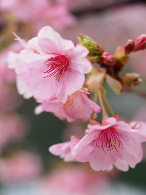 みなみの桜、花開く