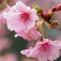 Photos: みなみの桜、花開く