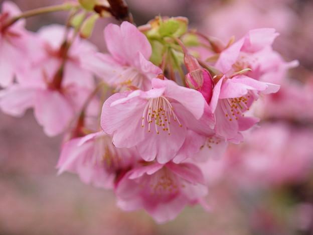 Photos: みなみの桜、華ひらく