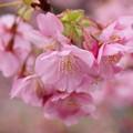 みなみの桜、華ひらく
