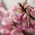 ハルイロ桜色