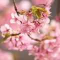 春の陽射し・輝くサクラ