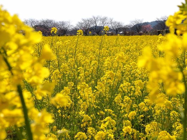みなみの菜の花・春の香り♪