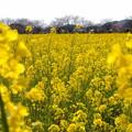 Photos: みなみの菜の花・春の香り♪