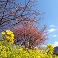 菜の花と函南桜と空と雲…試し撮り -d