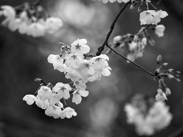 Photos: 三嶋大社も桜開花♪