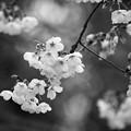 写真: 三嶋大社も桜開花♪