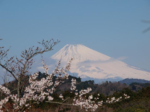 桜越しの富士のお山