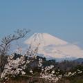 Photos: 桜越しの富士のお山