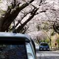 桜花見する相棒