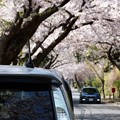 Photos: 桜花見する相棒