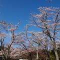 春の青空と桜の花びら