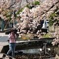 Photos: 桜散る情景をパシャ~