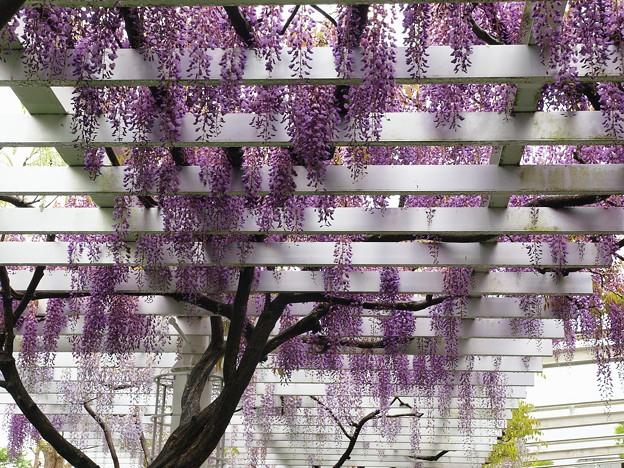 垂れる紫藤