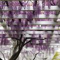 Photos: 垂れる紫藤