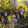 Photos: 大樹なる藤