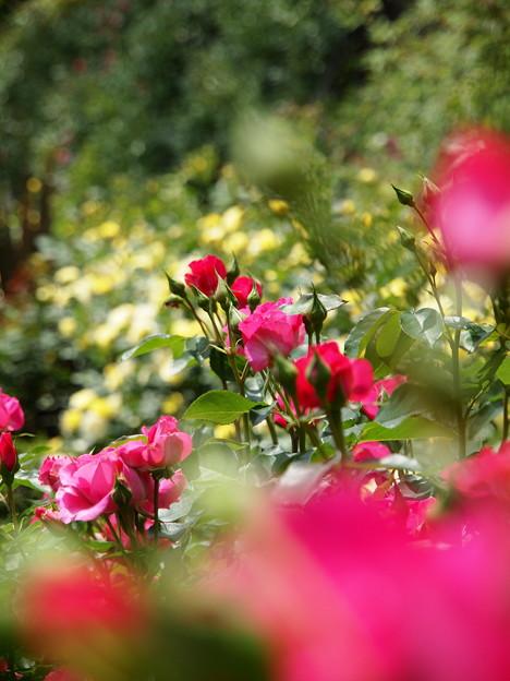 ガーデンの中の薔薇の園