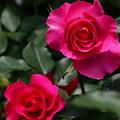 春色に染まった春薔薇