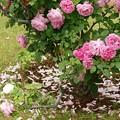地上の花弁