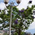 Photos: ジャカランダ咲く海岸通り