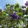 初夏の青空とジャカランダ