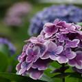 水辺の紫陽花 in 源兵衛川