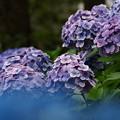 水辺の紫陽花 in 白滝公園