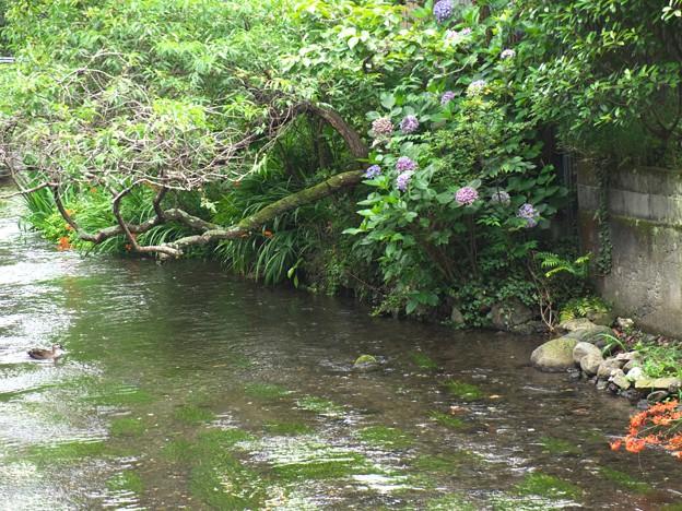 水辺に咲く紫陽花~鴨さんも一緒に♪