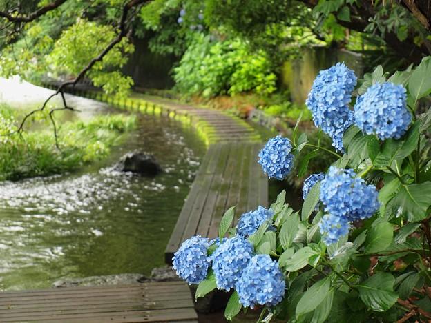 Photos: お出迎え紫陽花