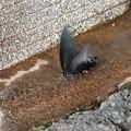 地上に舞い降りたアゲハチョウ