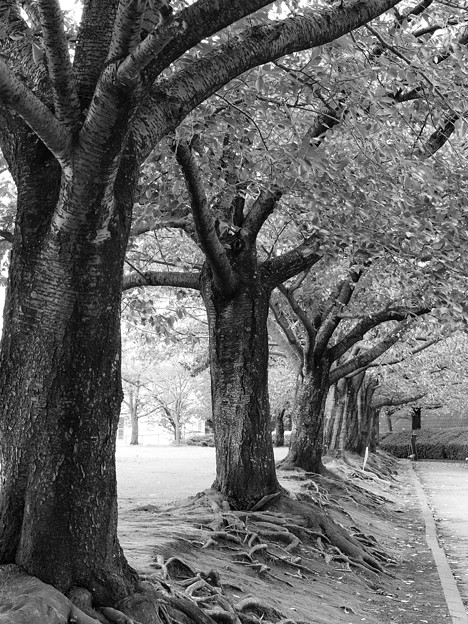 晩夏の桜並木