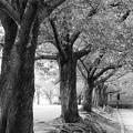 Photos: 晩夏の桜並木