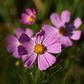 Photos: コスモスが、咲いていた…