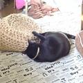 写真: 猫ちぐらの使い方2