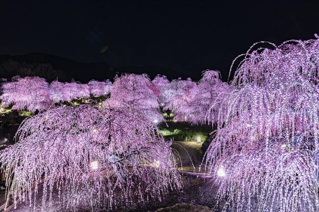 写真: 輝く梅