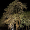 写真: 荘川桜2