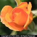 Photos: 薔薇 1