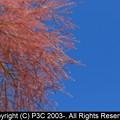 Photos: 煙の木