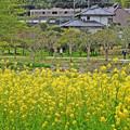 Photos: 菜の花の散歩道
