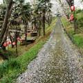 温水プールの桜 H30,4,9