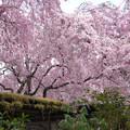 京都・原谷苑の桜(1)H30,4,4