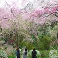 原谷苑の桜(2)H30,4,4