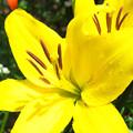 写真: 黄色いユリ H30,6,29