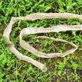 写真: 蛇の脱け殻(1)H30,9,18