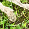写真: 蛇の脱け殻(2)H30,9,18