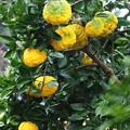 大柚子  H30,12,11
